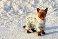 Funny small yorkshire terrier in space suit on his winter walk