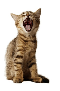 small kitten yawning