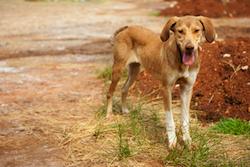 chien_leishmaniose