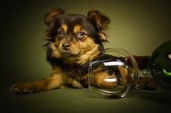 Chihuahua Mischling mit Wein und Glas