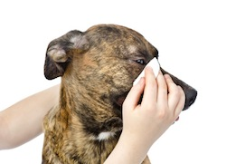 Veterinarian cleans eyes to a dog. isolated on white background