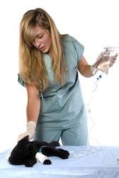 jeune femme vétérinaire qui fait un perfusion à un chat noir